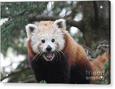 Smiling Red Panda Acrylic Print