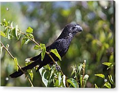 Smooth-billed Ani Acrylic Print by Bob Gibbons