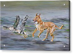 Smooth Collie Trying To Herd Geese Acrylic Print