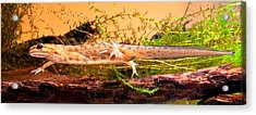 Smooth Or Common Newt  Acrylic Print by Dirk Ercken
