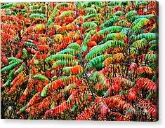 Smooth Sumac Fall Color Acrylic Print by Thomas R Fletcher