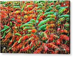 Smooth Sumac Fall Color Acrylic Print by Thomas R Fletcher