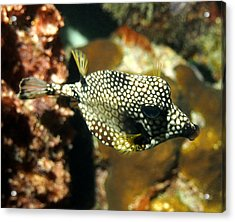 Acrylic Print featuring the photograph Smooth Trunkfish by Amy McDaniel