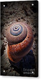 Snail Beauty Acrylic Print by Clare Bevan