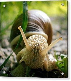 Snail Closeup Acrylic Print