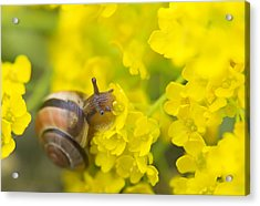 Acrylic Print featuring the photograph Snail by Jaroslaw Grudzinski