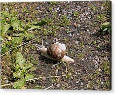 Acrylic Print featuring the photograph Snail by Leif Sohlman