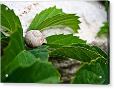 Snail Shell Acrylic Print by Chase Taylor