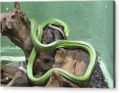 Snake - National Zoo - 01131 Acrylic Print by DC Photographer