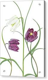 Snakes Head Fritillary Acrylic Print