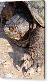 Snapping Turtle Acrylic Print by Thomas Pettengill