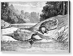 Snapping Turtles Acrylic Print