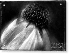 Sneezeweed Acrylic Print by Jean OKeeffe Macro Abundance Art