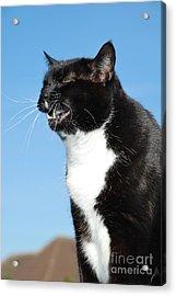 Sneezing Cat Acrylic Print