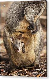 Sneezing Wallaby Acrylic Print