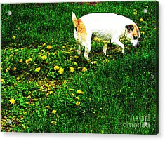 Sniffin The Dandelions Acrylic Print by Minding My  Visions by Adri and Ray