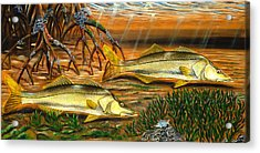 Snook In The Mangroves Acrylic Print