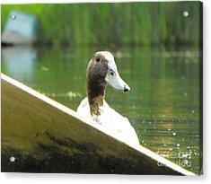 Snooping Duck Acrylic Print