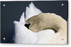 Snoozer - Swan Acrylic Print by Travis Truelove
