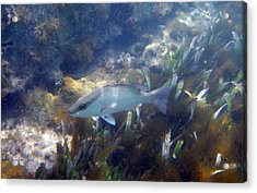 Snorkeling In The Tortugas Acrylic Print