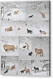 Snow Angels Paso Fino Style Acrylic Print by Patricia Keller