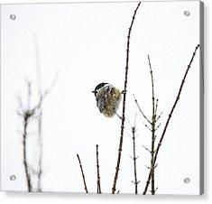 Snow Bird 2 Acrylic Print by Rebecca Cozart