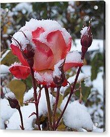 Snow Blooms Acrylic Print