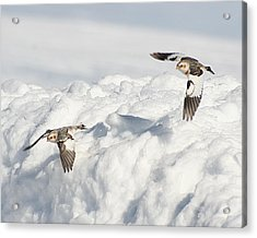 Snow Buntings In Flight Acrylic Print