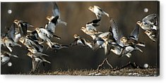 Snow Buntings Taking Flight Acrylic Print