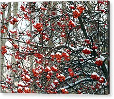 Snow- Capped Mountain Ash Berries Acrylic Print