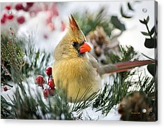 Acrylic Print featuring the photograph Snow Cardinal by Christina Rollo