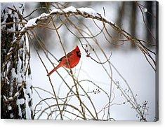 Snow Cardinal Acrylic Print