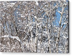 Snow Covered Birch Trees Acrylic Print by Janice Adomeit
