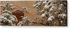 Snow Covered Branches Of Ponderosa Pine Acrylic Print
