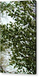 Snow Covered Pine Trees Acrylic Print by Lanjee Chee