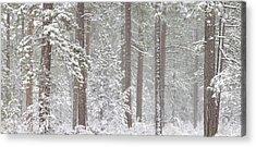 Snow Covered Ponderosa Pine Trees Acrylic Print