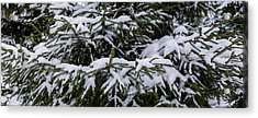 Snow Covered Spruce Tree - Featured 2 Acrylic Print by Alexander Senin