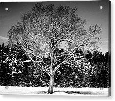 Snow Covered Tree Acrylic Print