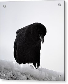 Snow Crow -edition  6 Of 10 Acrylic Print