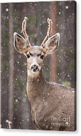 Acrylic Print featuring the photograph Snow Deer 1 by John Wadleigh