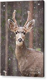 Snow Deer 1 Acrylic Print by John Wadleigh