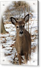 Snow Deer Acrylic Print by Lorna Rogers Photography