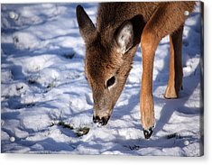Snow Digging Acrylic Print by Karol Livote