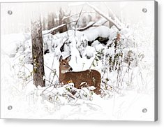 Snow Doe Acrylic Print by Karol Livote