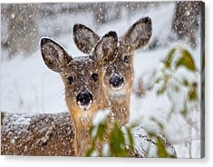 Snow Does Acrylic Print by Betsy Knapp