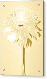 Snow Flake Zinnia Acrylic Print by Sherry Allen