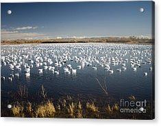 Snow Geese - Bosque Del Apache Acrylic Print