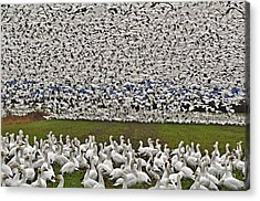 Snow Geese By The Thousands Acrylic Print by Valerie Garner