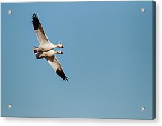 Snow Geese (chen Caerulescens Acrylic Print by Larry Ditto