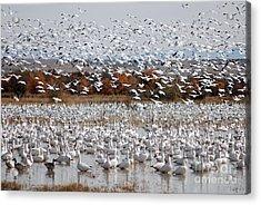 Snow Geese No.4 Acrylic Print
